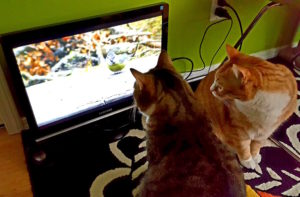 Full screen videos for cats on a Raspberry Pi